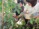 野菜収穫3.JPG