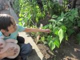 野菜収穫4.JPG